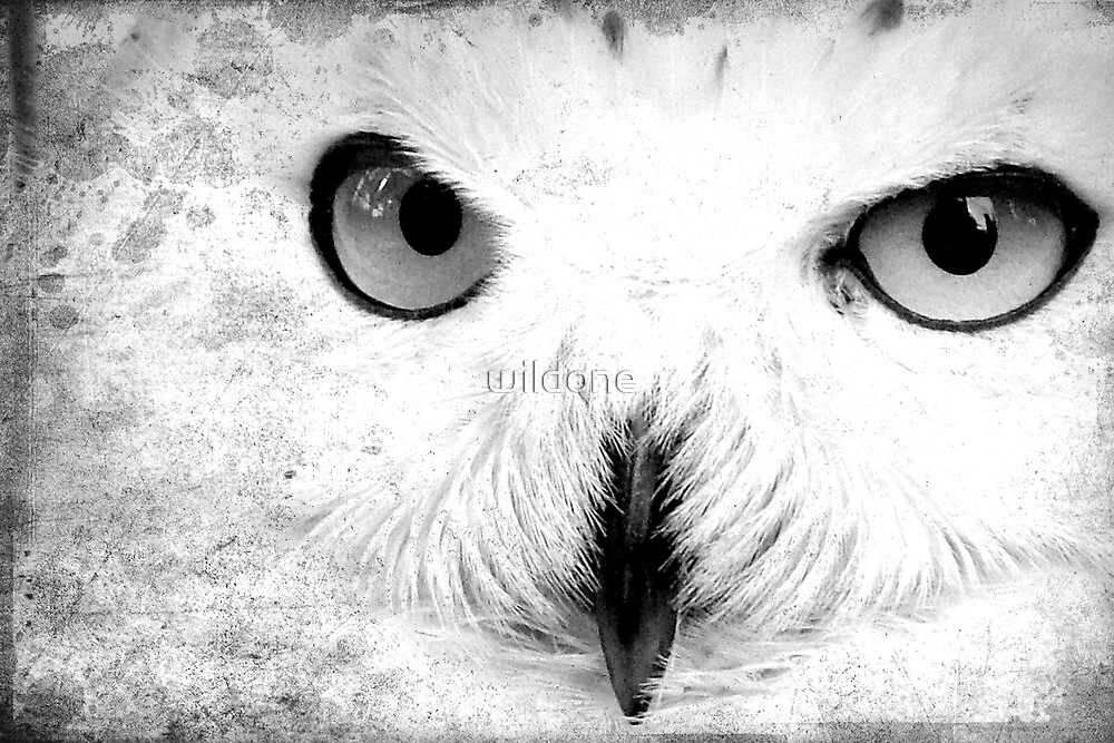 Snowy Owl close up by wildone