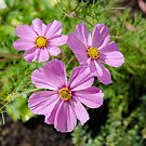 Pink Cosmos by 29Breizh33
