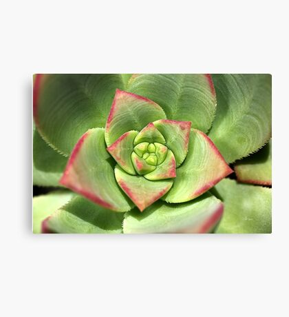 Hens And Chicks Succulent Canvas Print