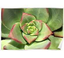 Hens And Chicks Succulent Poster