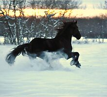 Friesian Stallion fun in the SNOW by Laurie Zaporzan