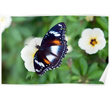 Common Eggfly Butterfly in my Innisfail garden Poster