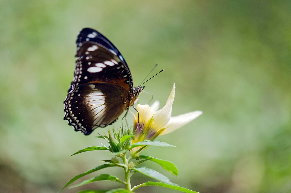 Sweet As - butterfly in Innisfail. by Jenny Dean