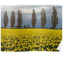 Daffodils and protective poplars Poster