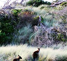 bennett's wallabies by Steve Scully