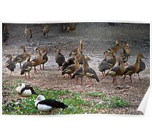 Whistling Ducks at Yellow Water Poster