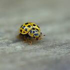 Yellow ladybug by Jouko Mikkola