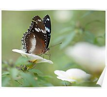 The Poser - common crow butterfly Poster