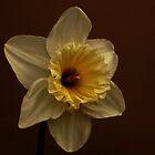 Daffodil by Adrianbennet