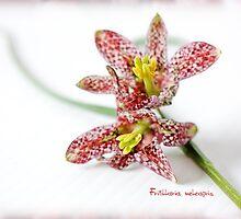 Fritillaria meleagris by inkedsandra