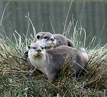 Pair of Otters at Knowsley Safari Park by Jenny1611