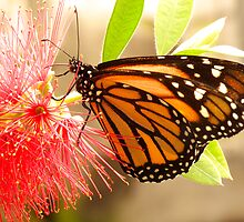 MONARCH  ON RED BOTTLEBRUSH by Johan  Nijenhuis