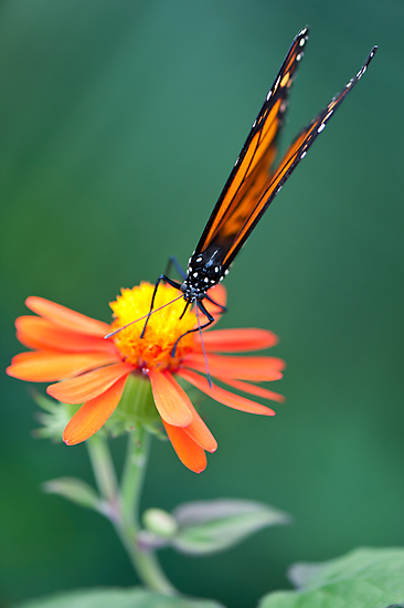 Butterfly 12 by Jacinthe Brault