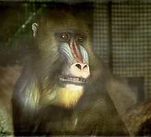 Day Dreamer-Mandrill Baboon ©  by Dawn M. Becker