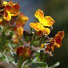 Aegean Wallflower by marens