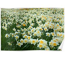 March winds and Daffodils Poster