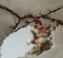 Red Berries in the Snow - Cardiff Roath Park by Thomas Martin