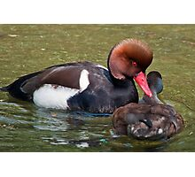 Red Crested Pochard (Mating Ritual) Photographic Print