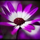 Purple Daisy  by Saija  Lehtonen