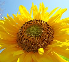 SUN FLOWERS GARDENS Calendar Sunflower by BasleeArtPrints