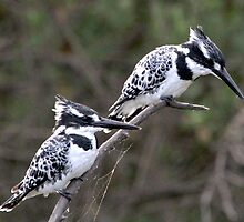 pied kingfishers two of a kind by ajay2011