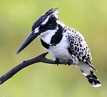 pied kingfisher looking for a meal by ajay2011