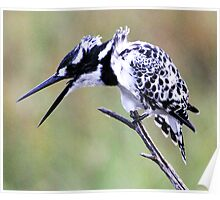 pied kingfisher talks Poster