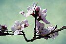 Cherry Blossom by FrankieCat