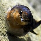 Little bird under Narrabeen bridge(Hirundo gutturalis) by Doug Cliff
