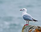 Red-billed Gull by Yukondick