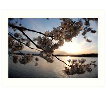 Cherry Blossoms on the Potomac  Art Print