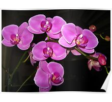Purple Phalaenopsis  Poster