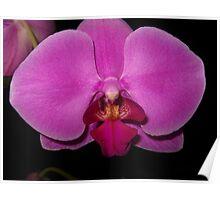 Phalaenopsis close-up Poster
