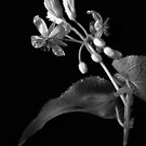 Sparmannia Africana in Black and White by Endre