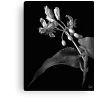 Sparmannia Africana in Black and White Canvas Print