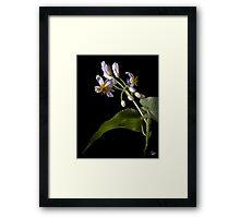 Sparmannia Africana Framed Print