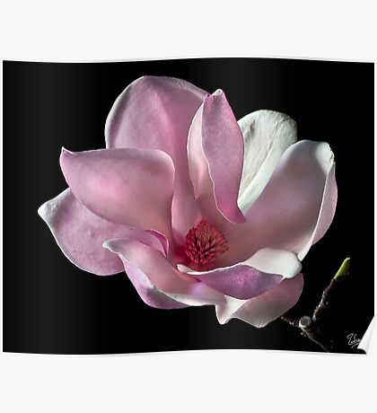 Chinese Magnolia Poster