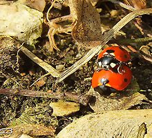 Ladybugs, spring is in the air. by alaskaman53