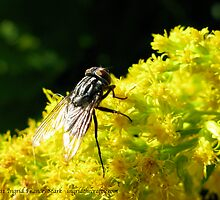 Fly on Goldenrod by ingridthecrafty