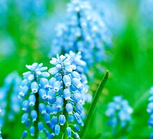 Grape Hyacinth by Roxanne Persson