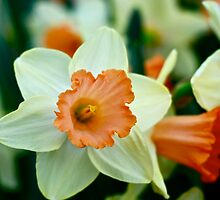 Narcissus by Roxanne Persson