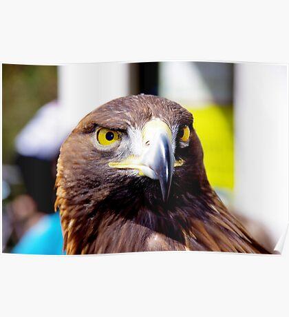 Golden Eagle at Krumbach Poster