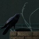 Urban Raven 2 by Paul Todd