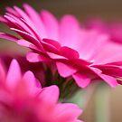 pink gerberas by Hege Nolan