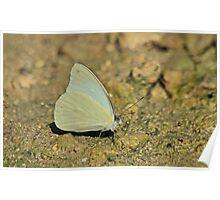 Sulphur Butterfly Species Poster