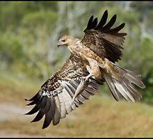 Whistling Kite  3 by John Van-Den-Broeke