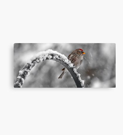 A Red Poll -- Waiting Out The Storm Canvas Print