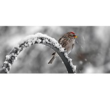 A Red Poll -- Waiting Out The Storm Photographic Print