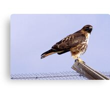 Redtail Hawk posing on fence Canvas Print