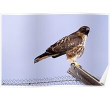 Redtail Hawk posing on fence Poster